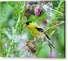 Male Goldfinch Acrylic Print