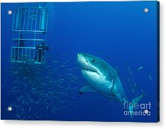 Male Great White Shark And Divers Acrylic Print by Todd Winner