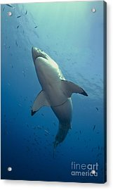 Male Great White Sharks Belly Acrylic Print by Todd Winner