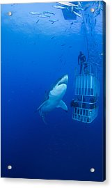Male Great White With Cage, Guadalupe Acrylic Print by Todd Winner