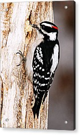 Male Hairy Woodpecker Acrylic Print by Larry Ricker