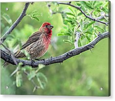 Male House Finch 9433 Acrylic Print by Tam Ryan