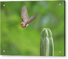 Male House Finch 9565 Acrylic Print by Tam Ryan
