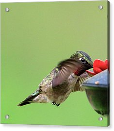 Male Hummer At Feeder Acrylic Print