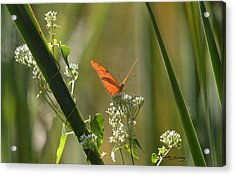 Male Julia Heliconia Butterfly Acrylic Print