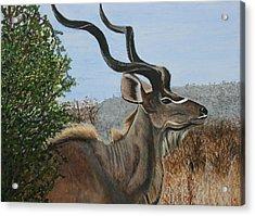 Male Kudu Antelope Acrylic Print by Betty-Anne McDonald