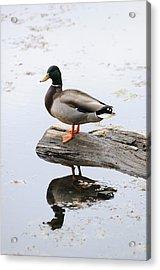 Male Mallard Duck With His Reflection Acrylic Print by Darlyne A. Murawski