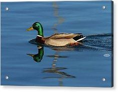 Male Mallard Or Wild Duck, Anas Platyrhynchos, Portrait Acrylic Print