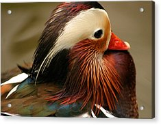 Male Mandarin Duck China Acrylic Print by PIXELS  XPOSED Ralph A Ledergerber Photography