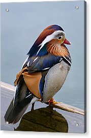 Male Mandarin Duck Perching On Submerged Plank Acrylic Print