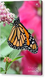 Male Monarch Acrylic Print