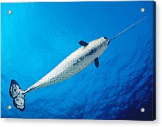 Male Narwhal Acrylic Print