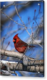 Male Northern Cardinal Bird Acrylic Print by Natural Selection David Spier