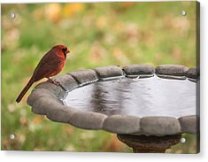 Male Northern Cardinal In Autumn Acrylic Print by Terry DeLuco
