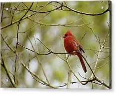Male Northern Cardinal Acrylic Print by Michael Peychich