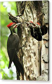 Male Pileated Woodpecker At Nest Acrylic Print
