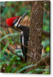 Male Pileated Woodpecker Acrylic Print by Robert L Jackson
