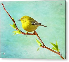 Male Pine Warbler On Forsythia Branch Acrylic Print