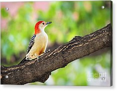 Male Red-bellied Woodpecker Acrylic Print