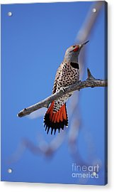 Male Red Shafted Northern Flicker Acrylic Print