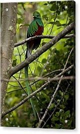 Male Resplendent Quetzal Acrylic Print by Roy Toft