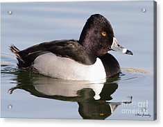 Male Ring Necked Duck Acrylic Print