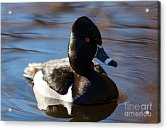 Male Ring-necked Duck Acrylic Print