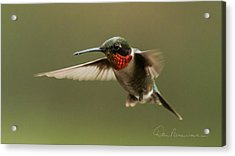 Male Ruby-throated Hummingbird 6794 Acrylic Print by Dan Beauvais