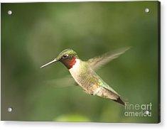Male Ruby Throated Hummingbird Acrylic Print by Cathy  Beharriell