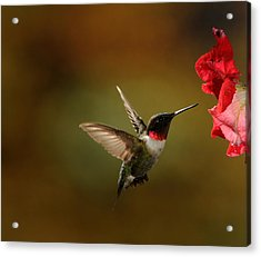 Male Ruby Throated Hummingbird Acrylic Print by Mike Martin