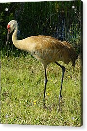 Acrylic Print featuring the photograph Male Sandhill Crane by Lynda Dawson-Youngclaus