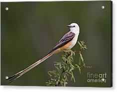 Male Scissor-tail Flycatcher Tyrannus Forficatus Wild Texas Acrylic Print by Dave Welling