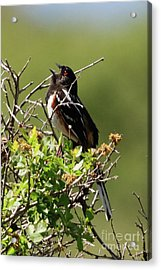 Male Spotted Towhee Acrylic Print