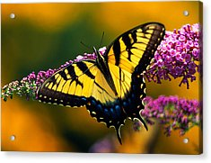 Male Tiger Swallowtail Butterfly On Acrylic Print by Panoramic Images