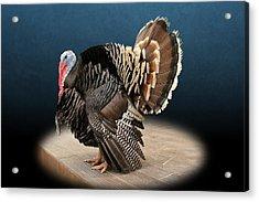 Male Turkey Strutting Acrylic Print
