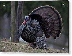 Male Wild Turkey, Meleagris Gallopavo Acrylic Print