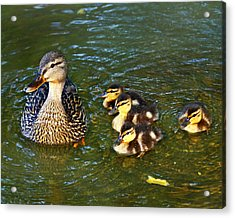 Mallard And Ducklings Acrylic Print by Susan Leggett