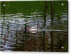 Mallard Acrylic Print by Bonnie Bruno