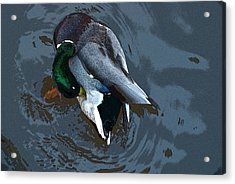 Mallard  Acrylic Print by Don  Wright