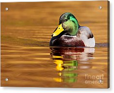 Mallard Drake In The Golden Water Acrylic Print by Mircea Costina Photography