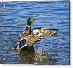 Mallard Drake In The Water Acrylic Print