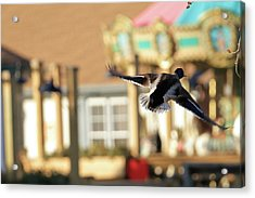 Mallard Duck And Carousel Acrylic Print by Geraldine Scull