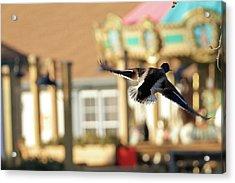 Mallard Duck And Carousel Acrylic Print by Geraldine Scull