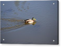 Mallard Duck Burgess Res Co Acrylic Print