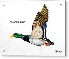 Mallard Duck Acrylic Print by Frederic Kohli