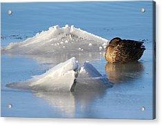 Mallard Duck Mount Sinai New York Acrylic Print
