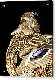 Mallard Duck Portrait Acrylic Print