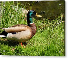 Mallard Duck Acrylic Print by Rosalie Scanlon
