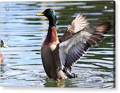 Mallard Duck  Acrylic Print by Stephen Athea