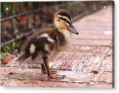 Mallard Duckling  Acrylic Print by Stephen Athea
